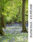 Carpet Of Bluebell Flowers In...