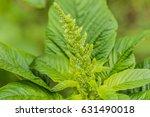 Small photo of Weed and medicinal plant Amaranthus retroflexus