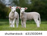 Pair Of Cute Lambs Looking...