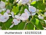 quince blossom. cydonia oblonga ... | Shutterstock . vector #631503218