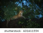 Leopard In South Luangwa...
