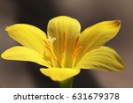 Small photo of Zephyranthes Midas Touch, rain lily,yellow rain li