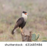 mexican eagle proud   a crested ... | Shutterstock . vector #631685486