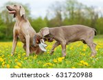 Picture Of A Cute Weimaraner...