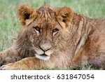 portrait of a young lion lying... | Shutterstock . vector #631847054