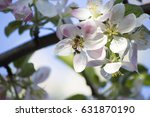 blooming apple tree. the bee on ... | Shutterstock . vector #631870190