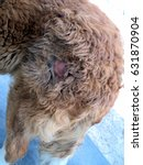 Small photo of bald patchy area of the skin in dogs, skin disease, alopecia, shingles, dermatitis