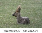 Male Roe Deer With Large...