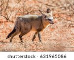 bat eared fox foraging in... | Shutterstock . vector #631965086