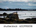 Seals Resting In Ytri Tunga...