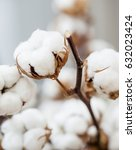 Cotton Dried Flower Close Up