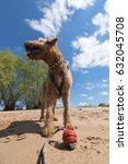 Small photo of old Airedale Terrier playing with red Ball on a Beach