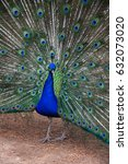 peacock with feathers fan in a... | Shutterstock . vector #632073020