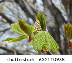 Small photo of Japanese Horse Chestnut about to Bloom Aesculus turbinata