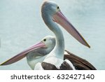 Two Australian Pelicans With...