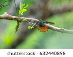 Small photo of The rufous tailed hummingbird (Amazilia tzacatl) cleans its wings (bird is slightly motion blurred). Costa Rica