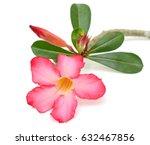Beautiful Frangipani Flower...