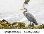 a stately great blue heron ... | Shutterstock . vector #632520050