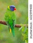 rainbow lorikeets trichoglossus ... | Shutterstock . vector #632599400