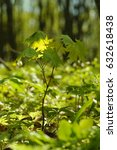Small photo of Young maple. Young tree. Acer platanoides