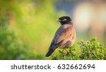 common myna  sturnus tristis ... | Shutterstock . vector #632662694