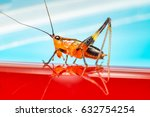 Small photo of Orange, black bush-crickets or katydids (Arthropoda: Insecta: Coleoptera: Dryophthoridae: Conocephalus melanus) crawling on a red surface
