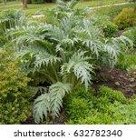 Cardoon Plant  Cynara...