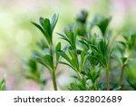 galium aparine cleavers ... | Shutterstock . vector #632802689