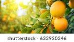 bunch of ripe oranges hanging... | Shutterstock . vector #632930246