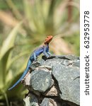 Small photo of Red-headed Rock Agama Lizard (Agama agama) Warming on a Rock in Northern Tanzania