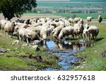 A Flock Of Sheeps Drinking Fro...