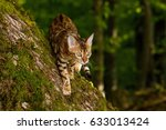 bengal cat hunting in forest ... | Shutterstock . vector #633013424