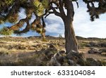 A Giant Joshua Tree In The...