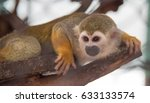 Squirrel Monkey