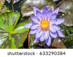 A Blue Lotus  Also Known As Th...