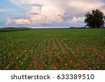 Green Young Cornfield In...