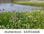 Daisies And Bluebells Near The...
