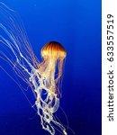 Japanese Sea Nettle Jellyfish ...
