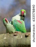 Small photo of Alexandrine parakeet or Alexandrian parrot