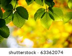 Bright Green Leaves On The...