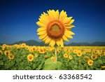 A Field Of Sunflowers  Thailand