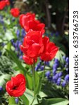 Red Tulips With Muscari In A...