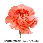 Beautiful Carnation Flower...