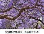 Jacaranda Trees In Pretoria ...