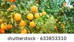 bunch of ripe oranges hanging... | Shutterstock . vector #633853310