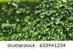 Dense Ivy On Wall Fresh Green...