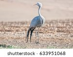 The Blue Crane  Grus Paradisea...