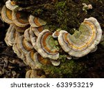Turkey Tail  Trametes...