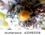 Small photo of Sea slug - Aldisa sp.