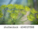 Yellow Flower Of Dill In The...